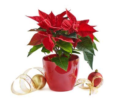Рождественская звезда - растение